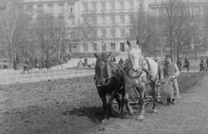 Potatisodling i Vasaparken 1917